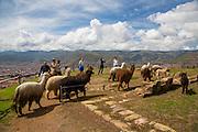 Llama, Saksaywaman, Incan archaelogical site, Cusco, Urubamba Province, Peru