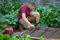 Sowing celery seeds into drills in the vegetable garden - Apium graveolens