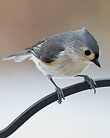 Tufted Titmouse (Baeolophus bicolor). Image taken with a Leica SL2 camera and Sigma 100-400 mm lens.