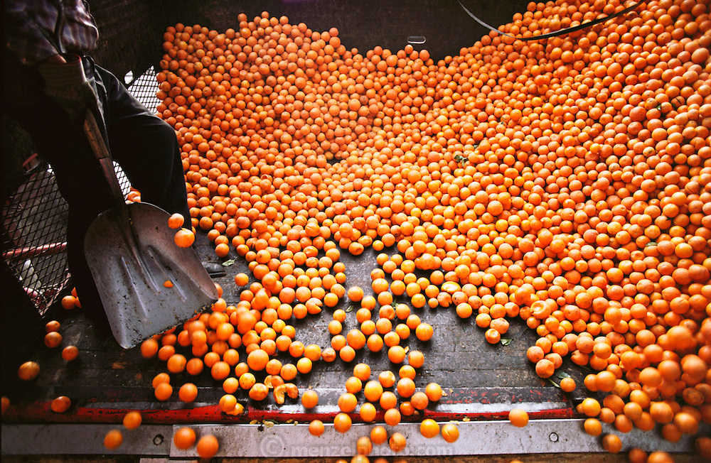 Unloading surplus naval oranges at the Sunkist Orange Juice Factory, Lindsay, California, USA. Only a small percentage of naval oranges can be used in juice mix because it tends to separate. Other surplus naval oranges are used for cattle feed.