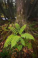 One of many beautiful fern scattered through the forest near the Sturgeon River.  <br /> Michigan's Upper Peninsula