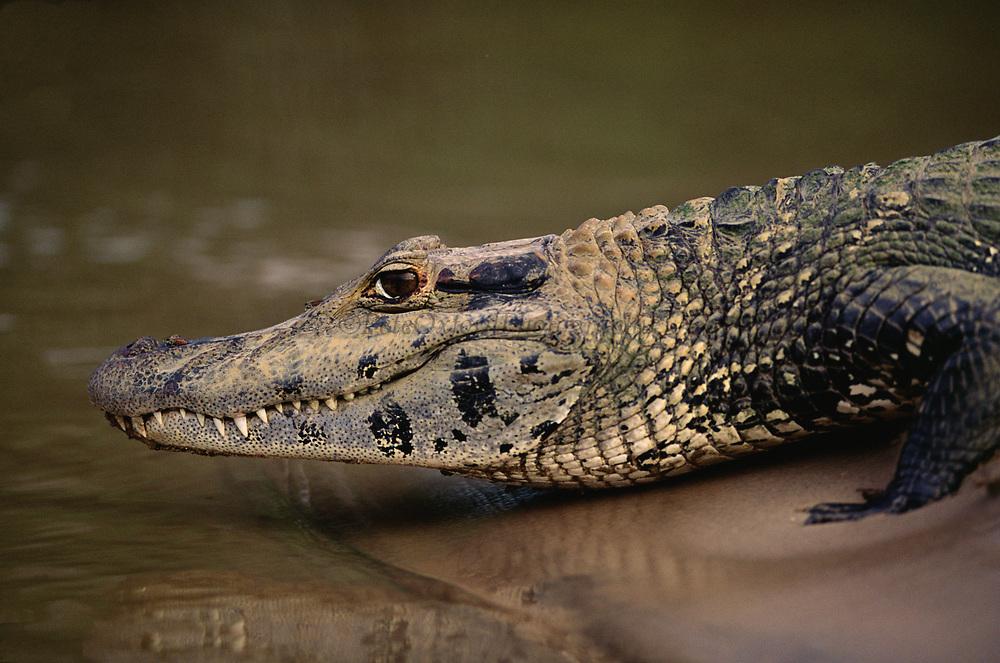 Black Caiman on riverbank<br />Melanosuchus niger<br />On Riverbank of Manu River, Manu National Park, PERU<br />South America.<br />RANGE: Amazon & Orinoco Basin