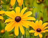 Black-eyed Susan. Image taken with a Nikon N1V3 camera and 70-300 mm VR lens