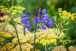 Agapanthus 'Tom Thumb' with achillea, and common fennel - Foeniculum vulgare