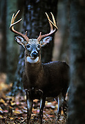 White-tailed deer in forest.