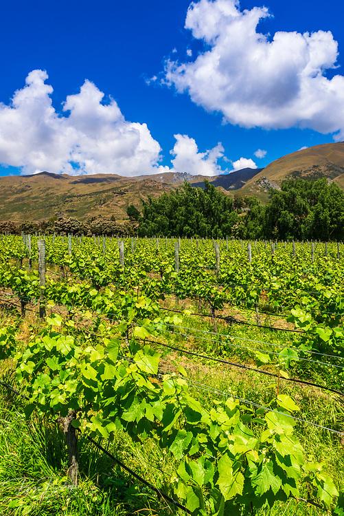 Wine grapes at Rippon Vineyard on the shore of Lake Wanaka, Otago, South Island, New Zealand