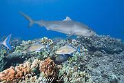 tiger shark, Galeocerdo cuvier, swims over coral reef with bluefin trevally or omilu, Caranx melampygus, and other reef fish, Honokohau, Kona, Big Island, Hawaii, USA ( Central Pacific Ocean )