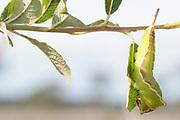 Puss moth (Cerura vinula) final instar larva on willow. Surrey, UK.