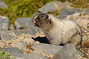 The Marmot looks across the alpine meadow just before he runs across a large snow bank to another set of rocks.