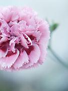Dianthus 'Summertime' (Rose Monica Wyatt) - pink
