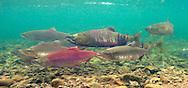 Sockeye Salmon (with Chum Salmon)<br /> <br /> Patrick Clayton/Engbretson Underwater Photography