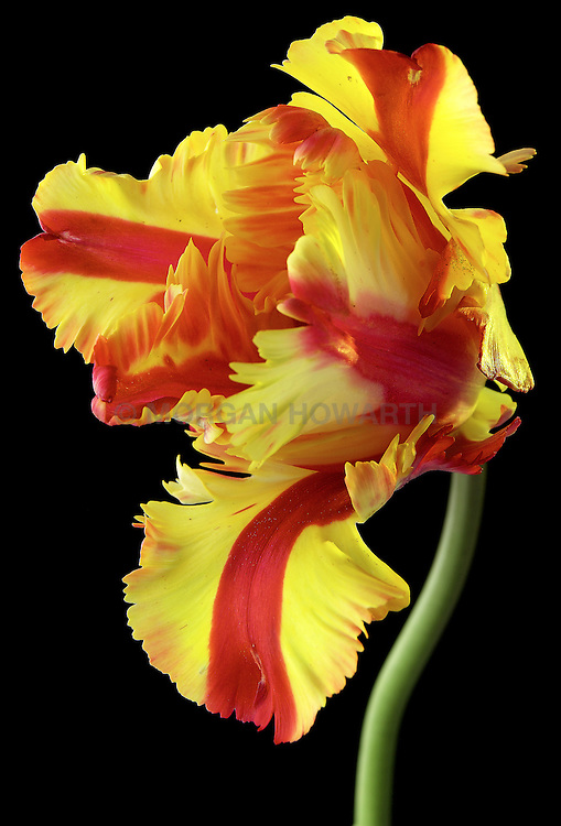 Flaming Parrot Tulip Yellow, Red