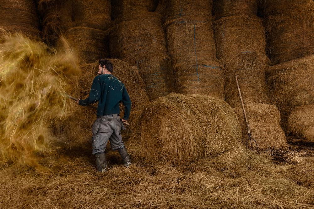 Un jeune WWOOFeur remue du foin avant de le donner aux animaux de la ferme biologique de La Bourdinière à Moutiers-au-Perche dans l'Orne. Les WWOOFeurs sont des volontaires qui s'initient aux savoir-faire et aux modes de vie biologiques, en prêtant main-forte à des agriculteurs ou particuliers (les hôtes) qui leur offrent le gîte et le couvert.<br /> A young WWOOFer stirs hay before giving it to the animals of the organic farm of La Bourdinière in Moutiers-au-Perche in the Orne. WWOOFers are volunteers who learn about organic know-how and lifestyles, helping farmers or individuals (the hosts) who provide them with board and lodging.