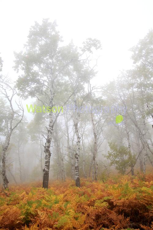 Fog in the Aspen Woods