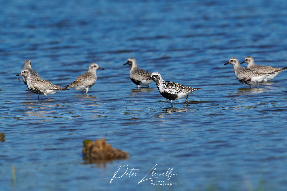 Black-bellied Plover (Pluvialis squatarola) along edge of shoreline, Crescent Beach, Nova Scotia, Canada