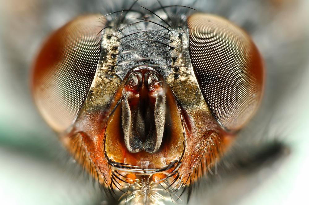 European blue bottle fly (Calliphora vicina) | Schmeißfliege (Calliphora vicina)