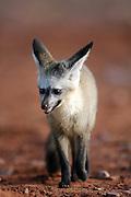 Bat-eared fox (Otocyon megalotis) | Ein junger Löffelhund (Otocyon megalotis) trabt, oft als Mitglied einer Familiengruppe, über das offene Land am Rande der Namib.