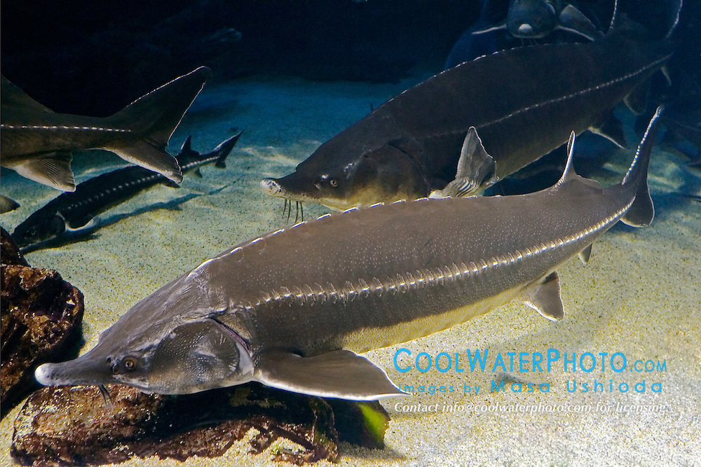 sterlet sturgeon, Acipenser ruthenus, vulnerable, and beluga, Huso huso, the largest sturgeon and largest European freshwater fish grows up to 5 m in length, weighs up to 2 tons, and lives up to 120 years. Critially endangered as it has been fished for caviar for centuries (c).