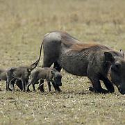 Wart hog, (Phacochoerus aethiopicus) Mother and babies grazing. Masai Mara Game Reserve. Kenya. Africa.