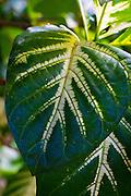 Foster Botanical, Gardens, Honolulu, Oahu, Hawaii