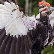 Pileated woodpecker (Dryocopus pileatus) flies into its nest site. Montana