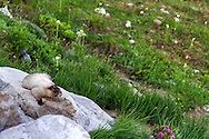 A Hoary Marmot (Marmota caligata) relaxes on rocks along the Golden Gate Trail in the Paradise area of Mount Rainier National Park in Washington State, USA