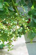 Unripe grapes. Suffering from coulure, poor fruit setting. Merlot vines. Chateau Jonqueyres, Bordeaux Superieur, Entre deux Mers, Bordeaux, France