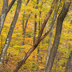 Fall in an oak-hickory forest on Mount Tom in Holyoke, Massachusetts.  Mount Tom State Reservation.