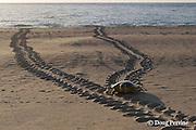 Australian flatback sea turtle, Natator depressus, female climbs beach in order to nest, leaving tractor-like tracks behind her, Crab Island, off Cape York Peninsula, Torres Straits, Queensland, Australia