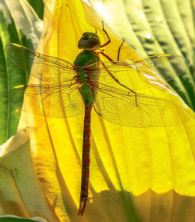 Backyard visitor, dragonfly resting on a sunlit Hosta leaf. Photo taken August 31, 2014.