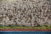 Red Beach and Palo Santo (ursea graveolens)<br /> Rabida<br /> Galapagos<br /> Ecuador, South America