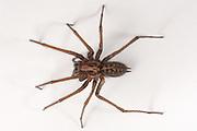 Detailed image of a Funnel Web Spider (Tegenaria duellica). Western, Oregon.