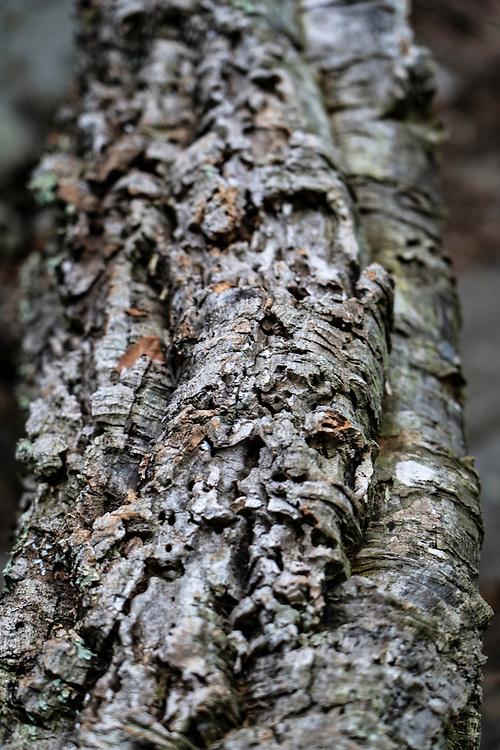 Cork oak, Quercus suber, in Massís de les Cadiretes, Catalonia, Spain