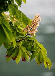 THEMENBILD - weiße Blüten eines Kastanienbaumes (Castanea), aufgenommen am 10. Mai 2018, Zell am See, Österreich // white flowers of a chestnut tree on 2018/05/10, Zell am See, Austria. EXPA Pictures © 2018, PhotoCredit: EXPA/ Stefanie Oberhauser