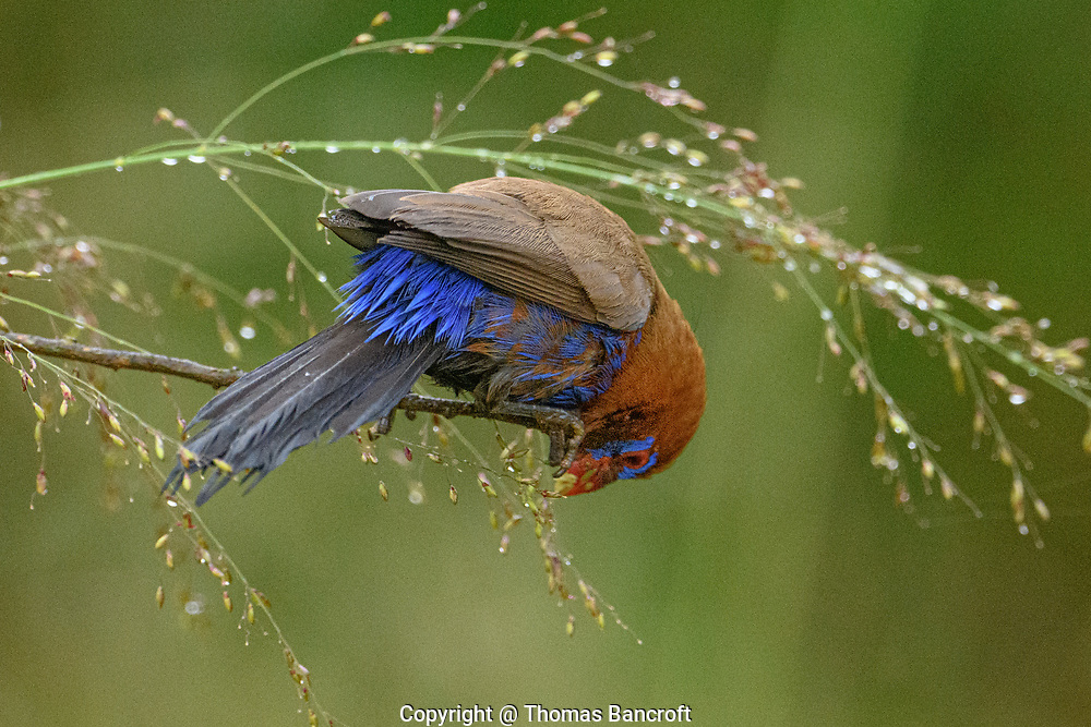 Leaning forward, this granadier shows its bright blue tail coverts that add a little grace to his black rectrices.