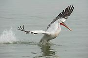 Dalmatian Pelican, Pelecanus crispus, in Breeding Plumage, Kerkini Lake, Greece, Vulnerable IUCN Red List 2007 and on Appendix I of CITES, in flight, landing on water,