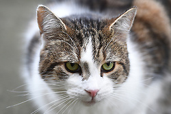 Larry, the Number 10 cat, in Downing Street, London.