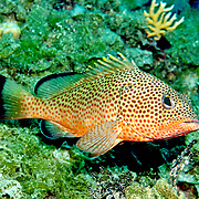 Red Hind inhabit reefs in Tropical West Atlantic; picture taken San Salvador, Bahamas.