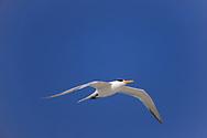 Royal tern in flight, blue sky, Atlantic Coast, Florida, © David A. Ponton