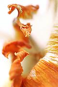 Narciso / Narcissus<br /> Photo Antonietta Baldassarre