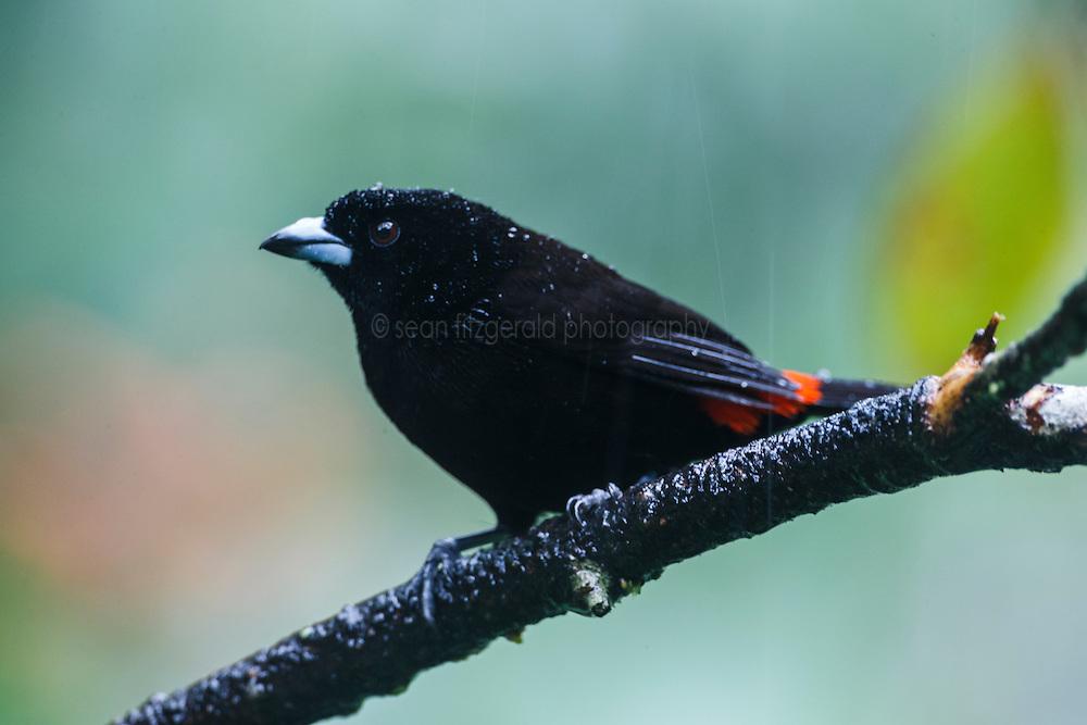 Passerini's Tanager, Ecocentro Danaus Biological Reserve, Costa Rica.