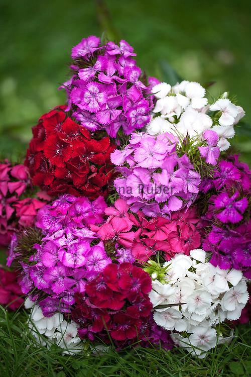 Dianthus barbatus mixed - sweet william