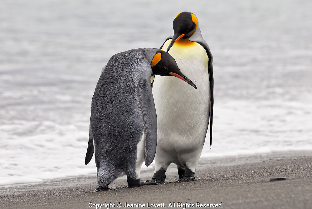 Courting king penguins near the shore line of Fortuna Bay, South Georgia.