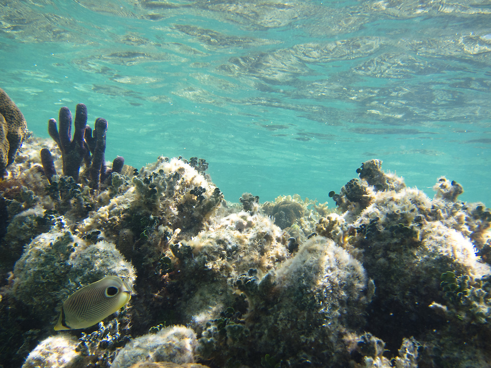 Ambergris Caye, Belize 8/31/2012.Snorkeling the barrier reef just off the beach at Tranquility Bay..Alex Jones / www.alexjonesphoto.com
