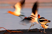 American Avocets (Recurvirostra americana) take to wing in the morning light.  Alberta, Canada