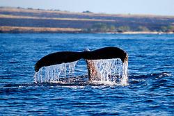humpback whale fluke-up dive, Megaptera novaeangliae, Hawaii, Pacific Ocean