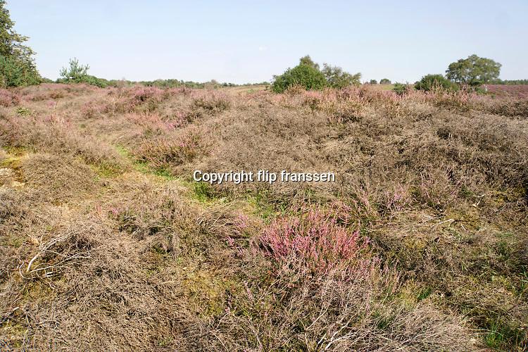 Nederland, Mook, 23-8-2019 Natuurgebied De Mookerheide.  Nu het even geregend heeft staat de hei mooi in bloei. Toch zijn er door de droogte van dit en vorig jaar veel heistruiken dood gegaan, verdord. Het geeft bruine en dorre stukken tussen de paarse hei. Ook dreigt er steeds meer vergrassing door meer stikstof uitstoot in de lucht . Ook bekend om de historische Slag op de Mookerheide op 14 april 1574. De Mookerhei is een natuurgebied ten oosten van Mook in de provincie Limburg. Zij ligt op een uitloper van de Nijmeegse stuwwal. In het zuidelijke deel groeit struikheide die normaal in augustus prachtig bloeit. Dit gebied is onderdeel van de wandelroute, pelgrimsroute, walk of wisdom door het rijk van Nijmegen. Foto: Flip Franssen