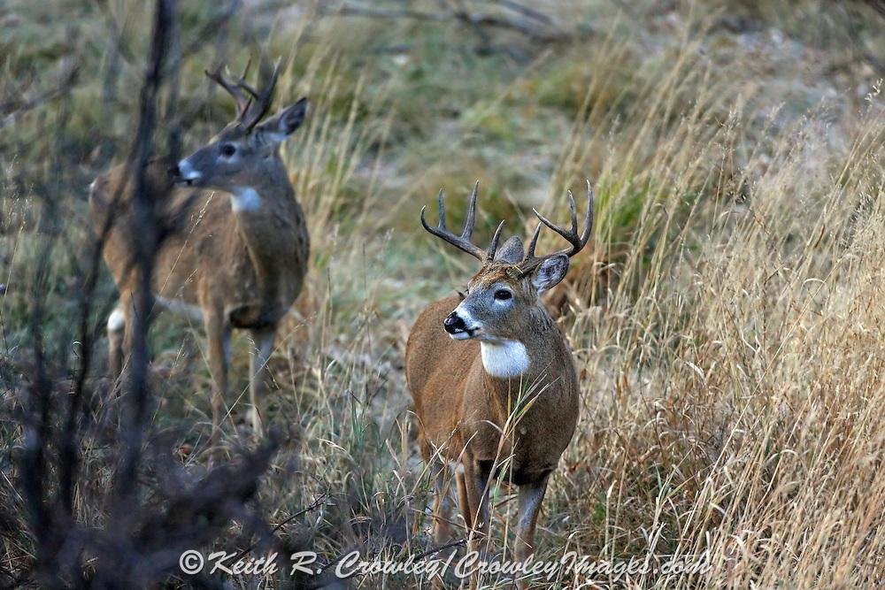 Whitetail buck in fall habitat. Whitetail buck in fall habitat