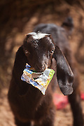 A lamb chews on a plastic wrapper at a remote Bedouin encampment in Wadi Rum, Jordan.