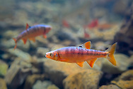 Scarlet Shiner<br /> <br /> Isaac Szabo/Engbretson Underwater Photography